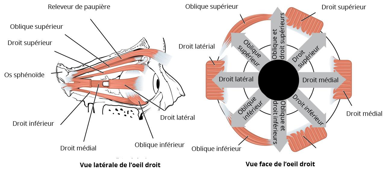 muscles externes oeil